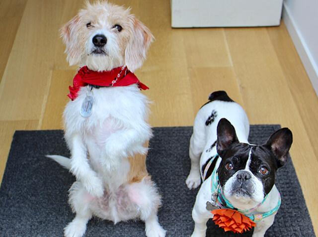 Stella and Co-Founder Jonathan Regev's pooch Buddy hangin' at Farmer's Dog HQ